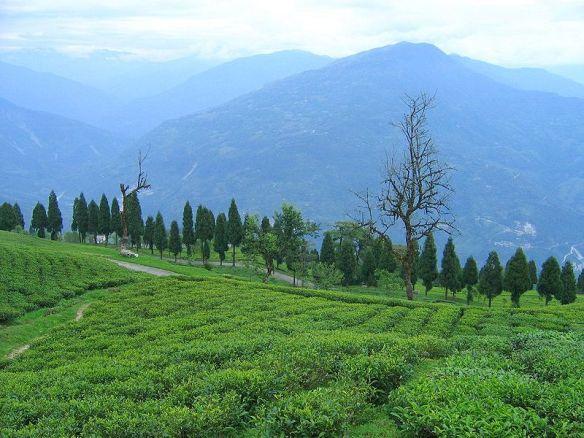 Temi Tea från Sikkim