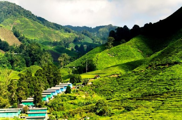 Teplantage i Darjeeling