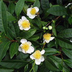 Te Camellia Sinensis